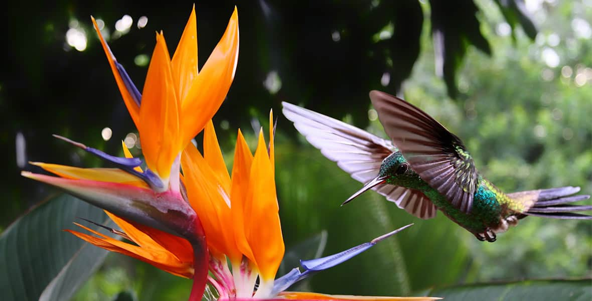 Humming bird with Strelitzia flower