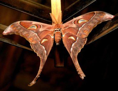 Ambua_Moth
