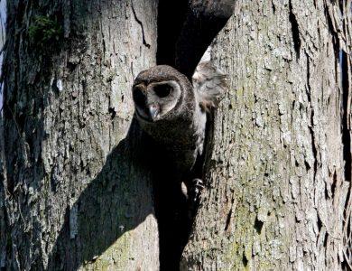 Ambua_Sooty Owl