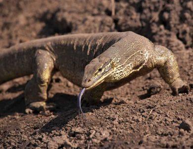 A goana lizard