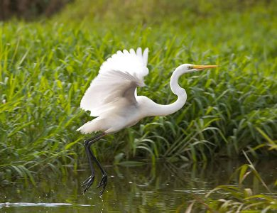 An egret on the banks of the Bensbach