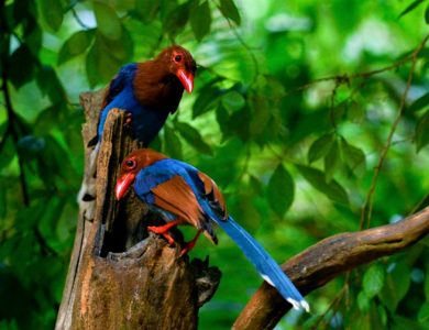 Blue Magpies