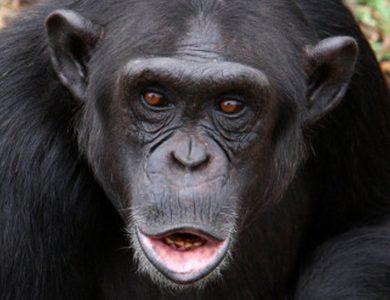 Duchess_Chimpanzee
