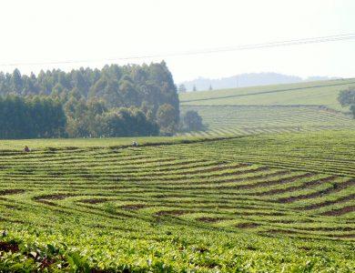 Duchess_Tea Fields