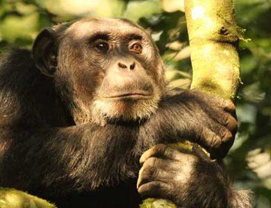 Dutchess_Chimpanzee2