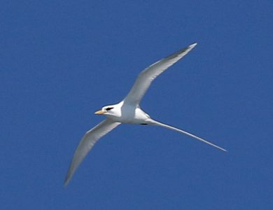 Easter_White-tailed Tropicbird