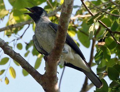 Black-faced Cotinga