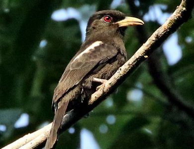 Yellow-billed Nunbird