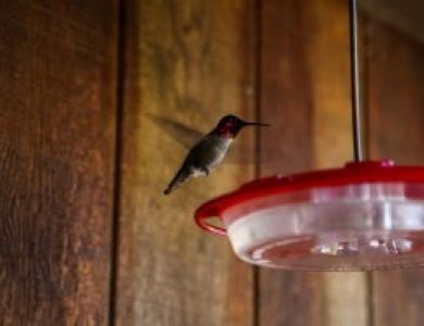 Osprey Peak Hummingbirds