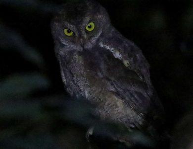 Ada Garden Hotel Ryukyu Scops Owl