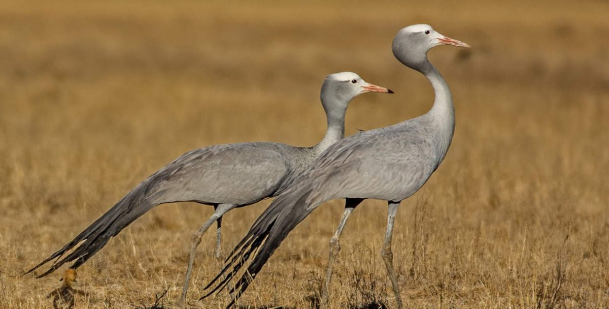 SA_Marrick_blue-cranes