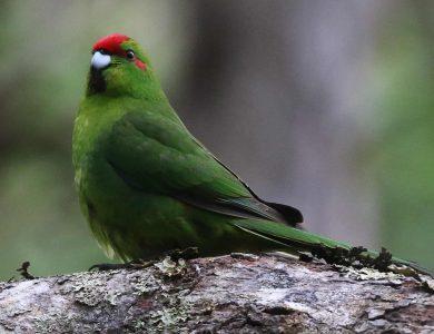 Tiritiri Red-fronted Parakeet