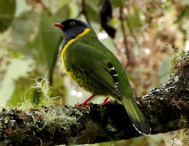Band-tailed Fruiteater
