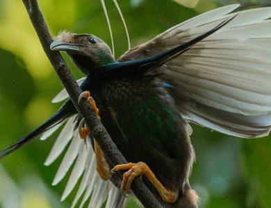 Weda Resort bird-of-paradise-weda-resort-halmahera