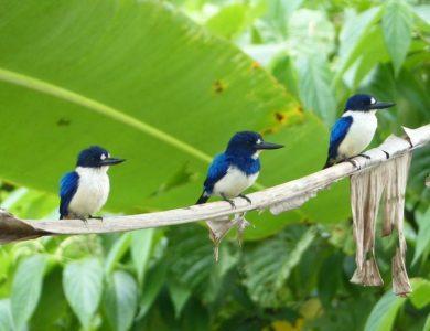 Weda Resort blue-and-white-kingfisher