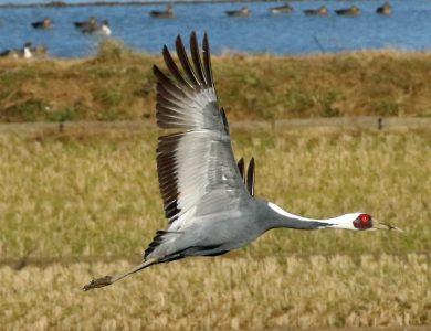 White-naped Crane5