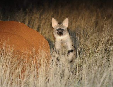 Marrick safari - Aardwolf
