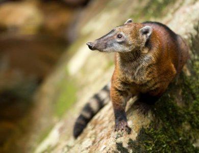 PumaRinri andean-coati