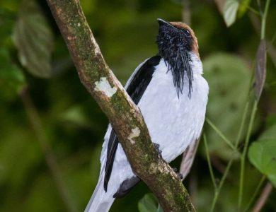 Bearded Bellbird: photo by Mike Boyce