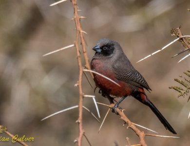 Marrick Safari - Black-faced Waxbill