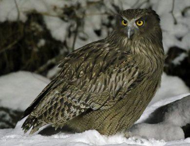 Washi No Yado Blakistons-Fish-Owl
