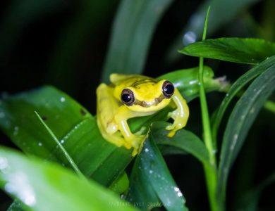 Copalinga - dendrosophus-rhodopeplus