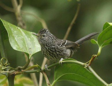 Itororo Lodge - Dusky-tailed Antbird