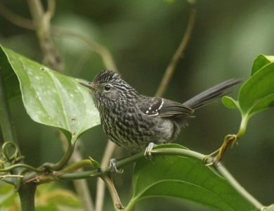 Itororo Lodge - Dusky-tailed Antbird