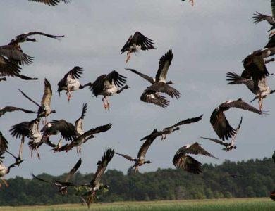 Geese leaving the wetland