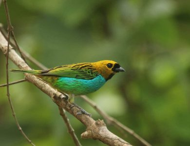 Itororo lodge - Gilt-edged Tanager
