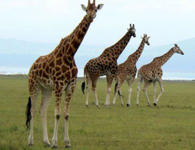 Entim Camp giraffe
