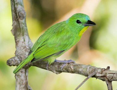 Canopy Tower - Green Shrike-vireo