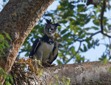 Canopy Camp harpy-eagle