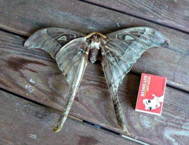 Daintree Valley Haven - Hercules Moth