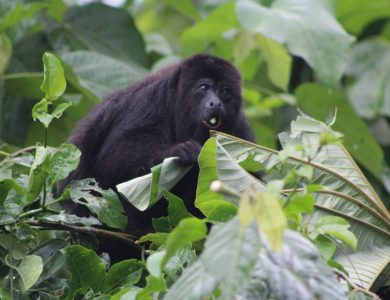 Caves Branch Jungle Lodge - Howler Monkey