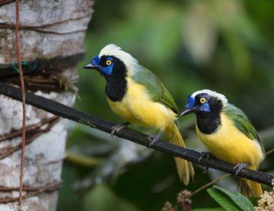 Copalinga inca-jay