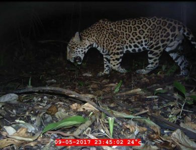 Caves Branch Jungle Lodge - Jaguar siting in the area