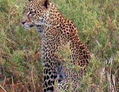 Entim Camp leopard