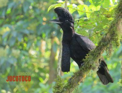 Choco Lodge long-wattled-umbrellabird