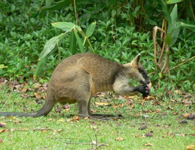 Daintree Valley Haven - Northern Swamp Wallaby