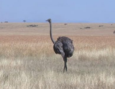 Entim Camp ostrich