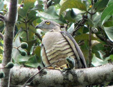 Daintree Valley Haven - Pacific Baza
