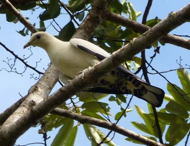 Daintree Valley haven - Pied Imperial Pigeon