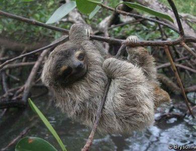 pygmy-three-toed-sloth-l