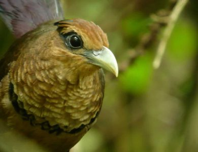 Canopy Tower- Rufous-vented Ground Cuckoo