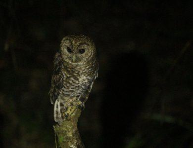 Itororo lodge - Rusty-barred Owl