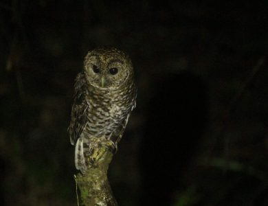 Itororo lodge - Rusty-barred Owl