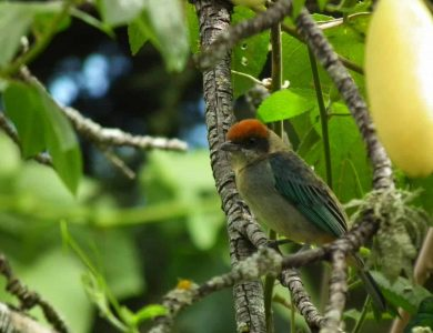 Scrub Tanager only happens in Interandean Valleys as ours