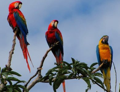 Some Macaws seen in the lodge grounds