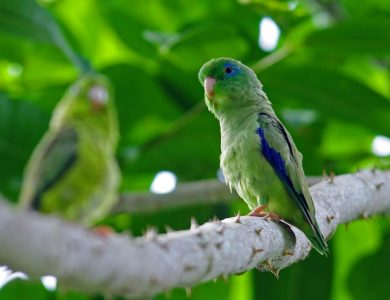 Canopy Camp spectacled-parrotlet